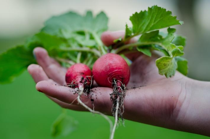 home-grown-radishes-free-license-cc0